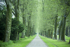 Alley of sycamore trees Stock Photos