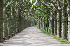 Alley of sycamores Stock Images