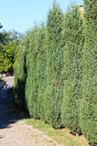 Alley of thuja in a park Stock Image