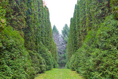 Alley of thuja in a park. Green trees on both sides Stock Photo