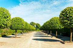 Alley of topiary green trees in Rundale royal ornamental garden. Stock Photography