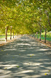 Alley of Trees Royalty Free Stock Photography
