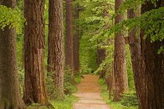 Alley among the trees. The road in the midst of monumental, tall trees and greenery Royalty Free Stock Photos