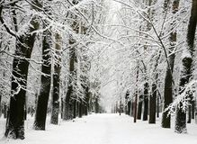 Alley of trees with branches covered with snow royalty free stock images