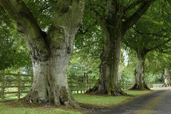 Alley of trees in Ireland Stock Image