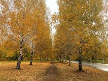 Alley of trees with yellow leaves stock photo