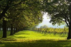 Alley with vineyard in the background. Trees lane with vineyard in background. Sunny day Stock Image
