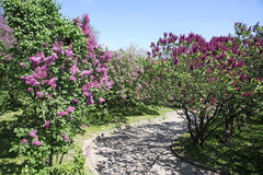Alley of violet lilac trees Stock Photo