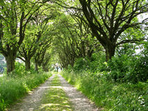 Alley of whitebeam Royalty Free Stock Photo