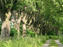 Alley of whitebeam Royalty Free Stock Images