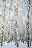 Alley in winter birch forest Royalty Free Stock Photo