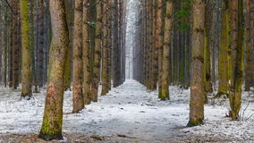 Alley in winter forest and snow falling stock video
