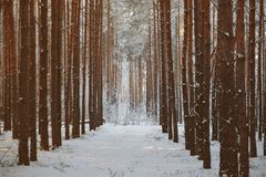 Alley in the winter pine forest. fairy beauty. Alley in the winter pine forest. fairy beauty Royalty Free Stock Photos
