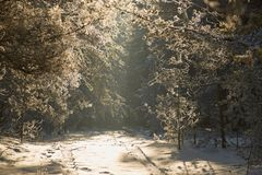 Alley in the winter pine forest. fairy beauty. Alley in the winter pine forest. fairy beauty Royalty Free Stock Image