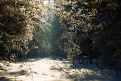Alley in the winter pine forest. fairy beauty. Alley in the winter pine forest. fairy beauty Royalty Free Stock Photo