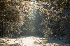Alley in the winter pine forest. fairy beauty. Alley in the winter pine forest. fairy beauty Stock Photos