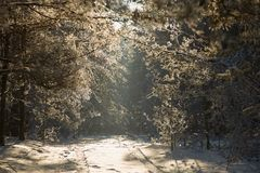 Alley in the winter pine forest. fairy beauty. Alley in the winter pine forest. fairy beauty Royalty Free Stock Images