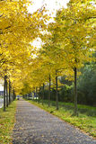Alley with yellow autumn trees Stock Photo