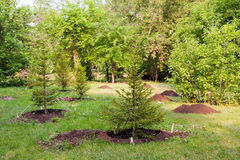 Alley of the young spruce seedlings royalty free stock photo
