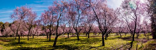 A panoramic image of blooming almond trees with pink flowers in Madrid in spring royalty free stock photos