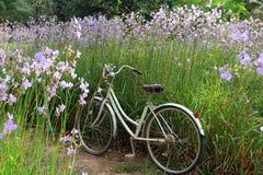 Allez à vélo dans le domaine de fleur pourpre en pastel sous la lumière du soleil de matin Photographie stock