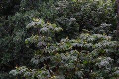 Allgemein bekannt als Rosskastanien- oder Conkerbaum in der Blüte Stockfoto