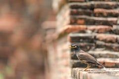 Allgemeine alte Wand Myna Acridotheres Tristis Birds Ons des Tempels im historischen Park Stockbild