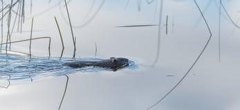 Allgemeine Biber Gießmaschine Canadensis Kleines Wassersäugetierschwimmen ruhig vorbei lizenzfreies stockfoto