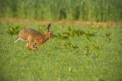 Allgemeine braune Hasen, die durch üppiges grünes Feld laufen Lizenzfreie Stockfotografie