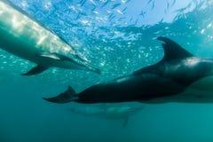 Allgemeine dophins, die gerade unter der Oberfläche schwimmen Stockbilder