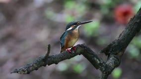 Allgemeine Eisvogel Alcedo atthis schöne Vogelweibchen von Thailand stock video footage