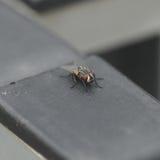 Allgemeine Fliege stockfotos