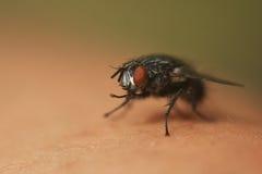 Allgemeine Fliege Lizenzfreies Stockbild