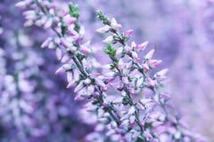 Allgemeine Heidemakroansicht Kleine violette Blumen, flache Schärfentiefe Weicher purpurroter Hintergrund Lizenzfreie Stockfotos