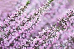 Allgemeine Heidemakroansicht Kleine violette Blumen, flache Schärfentiefe Weicher purpurroter Hintergrund Lizenzfreie Stockfotografie