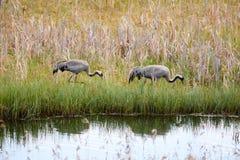 Allgemeine Kräne, die auf das Ufer von einem See im Sommer gehen Stockfotos