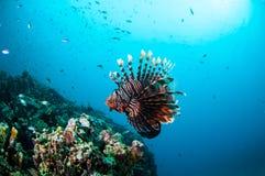 Allgemeine Lionfishschwimmen über Korallenriffen in Gili, Lombok, Nusa Tenggara Barat, Indonesien-Unterwasserfoto Lizenzfreies Stockfoto