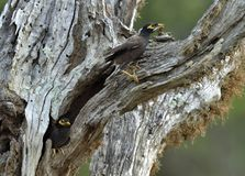 Allgemeine Myna Acridotheres-tristis auf dem alten Baum Lizenzfreies Stockfoto