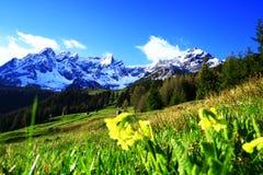Allgemeine Schlüsselblume an den Tiroler Bergen Lizenzfreies Stockfoto