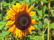 Allgemeine Sonnenblume Stockfoto