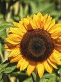 Allgemeine Sonnenblume Stockfotos