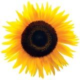 Allgemeine Sonnenblumen-Köpfchen, lokalisierte blühende Klasse Helianthus Lizenzfreie Stockfotografie