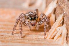 Allgemeine springende Spinne stockbild