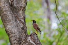 Allgemeine tristis Myna/des Acridotheres, die auf Stamm des Baums im Park stehen Lizenzfreie Stockfotografie