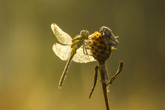 Allgemeine trocknende Flügel des Darter (Sympetrum-striolatum) Stockfotos