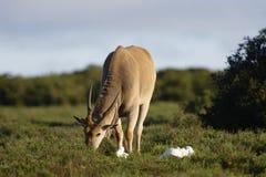Allgemeine weiden lassende Elenantilope, Addo Elephant National Park Stockfoto