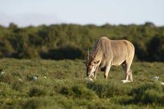 Allgemeine weiden lassende Elenantilope, Addo Elephant National Park Lizenzfreies Stockfoto