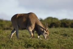 Allgemeine weiden lassende Elenantilope, Addo Elephant National Park Stockfotografie