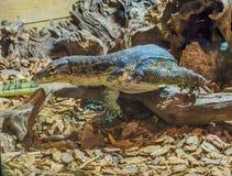 Allgemeiner asiatischer Wassermonitor, der über eine Niederlassung, großes giftiges Reptil von Asien geht lizenzfreie stockfotografie