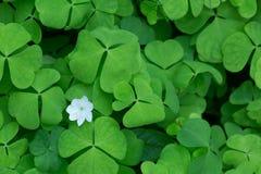 Allgemeiner hölzerner Sauerampfer, Oxalis-acetosella treibt und Blume Blätter Stockfotos